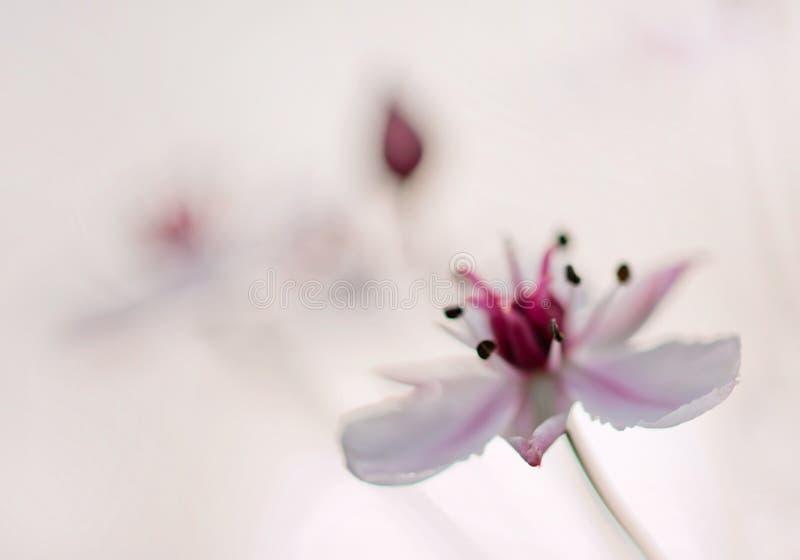 Flowering Rush Stock Images