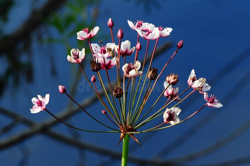 Download Flowering Rush Royalty Free Stock Image - Image: 27052976