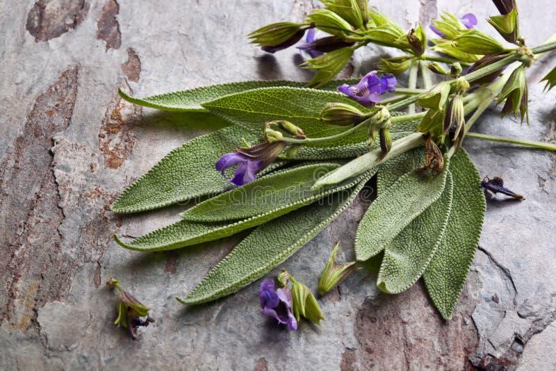 Download Flowering Sage stock image. Image of leaves, slate, stone - 22836493