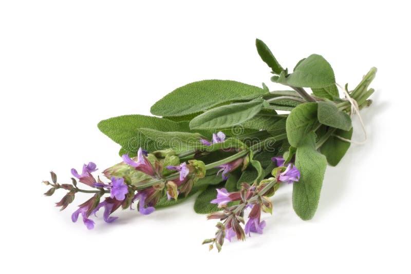 Flowering Sage royalty free stock images
