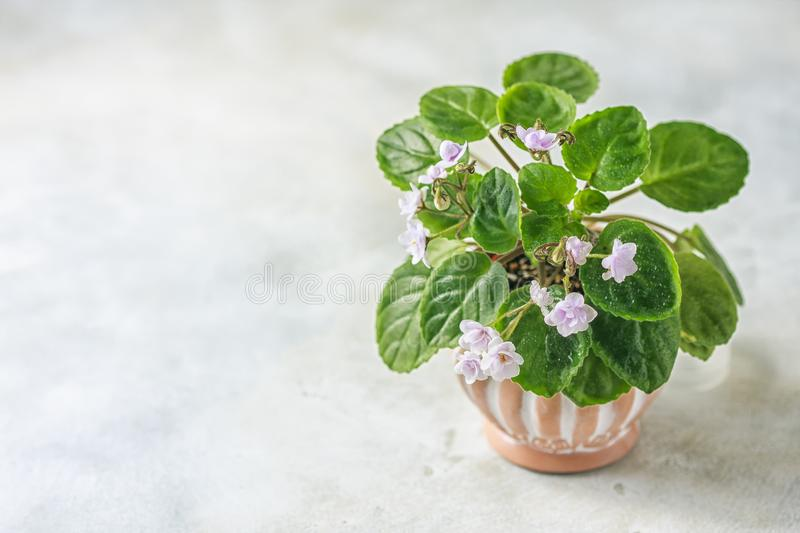 Flowering Saintpaulias, commonly known as African violet. Mini Potted plant. Selective focus stock photos