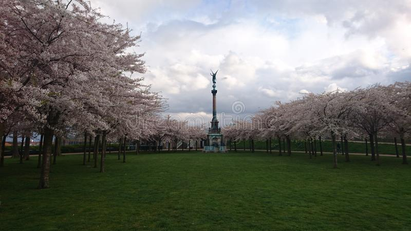 Flowering sakura stock photos