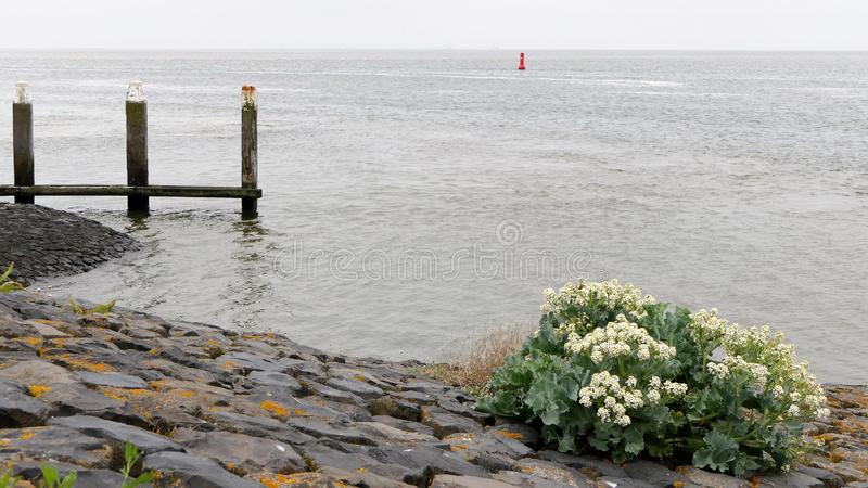 Sea kale on a dike. Flowering sea kale growing on a dike at the wadden sea stock images