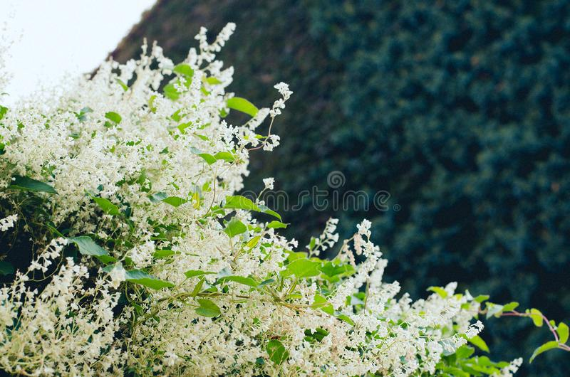Flowering shrub beautiful white buds with green leaves. Flowering bush white buds against the wall of the branches of many green bushes and the sky royalty free stock images