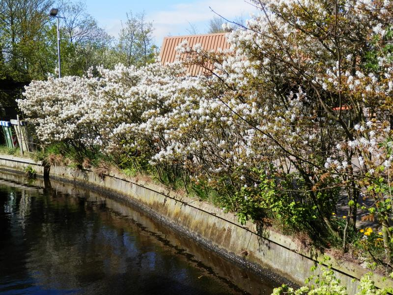 Flowering shrub on canal-side royalty free stock image