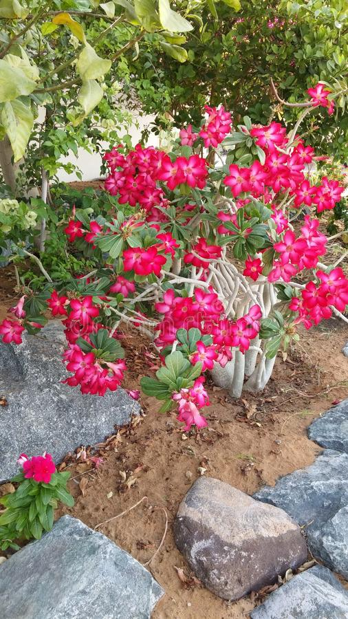 Flowering shrub. Exotic garden bush with two toned red and white blooms. royalty free stock images