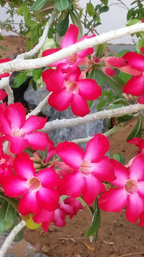 Flowering shrub. Exotic garden bush with two toned red and white blooms. Close up view. royalty free stock images