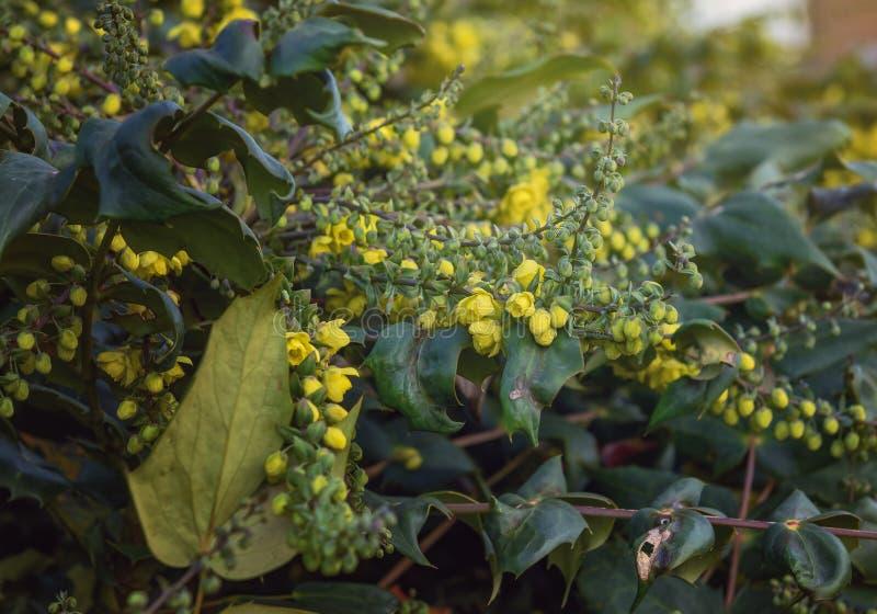 Flowering shrub Mahonia. royalty free stock photography