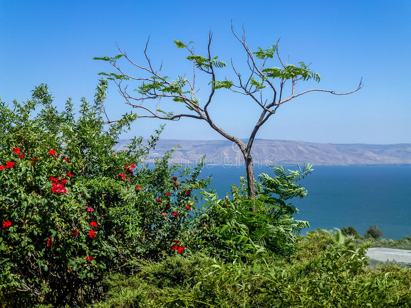 Flowering shrub, view on the Sea of Galilee, Israel royalty free stock photos