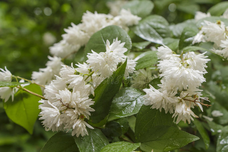 Flowering shrub with white flowers in rainy weather stock image download flowering shrub with white flowers in rainy weather stock image image of background mightylinksfo Gallery