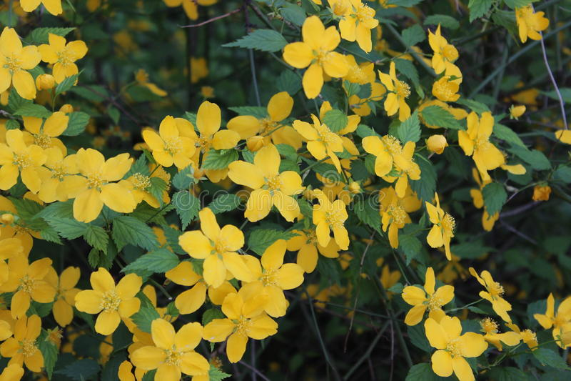 Flowering shrub with yellow flowers stock image image of petal download flowering shrub with yellow flowers stock image image of petal botany mightylinksfo