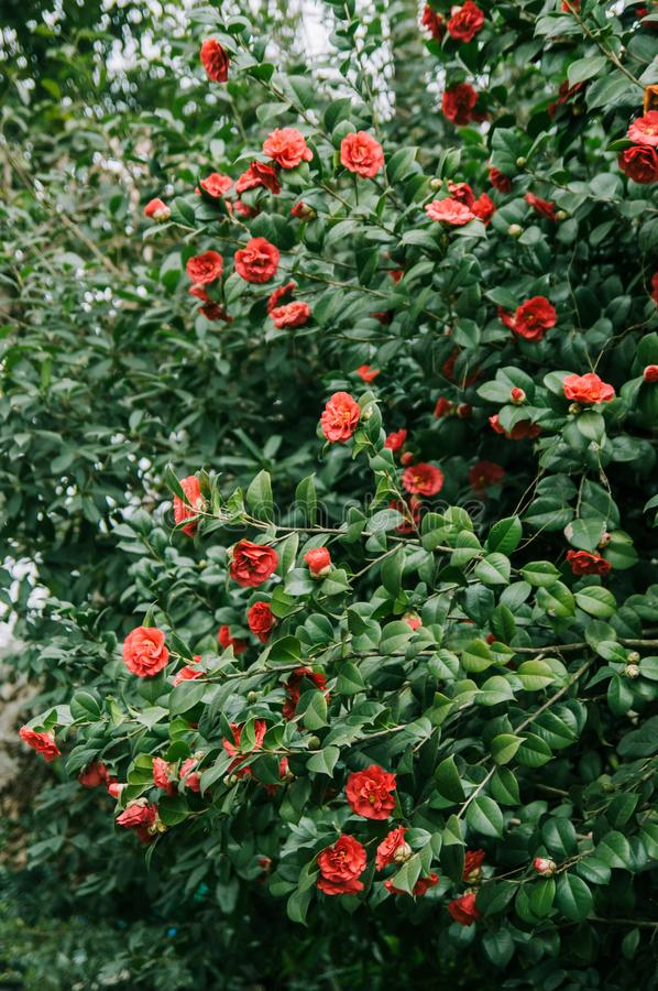 Flowering shrubs of red camellia royalty free stock photos