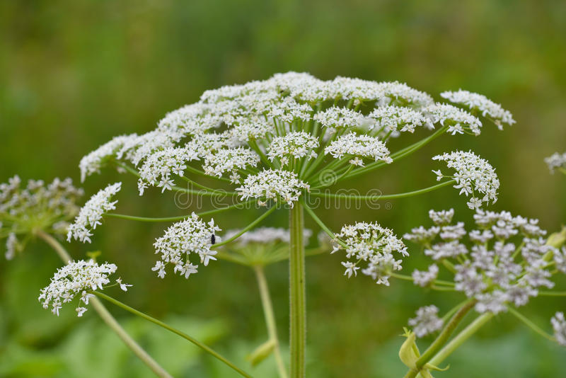 Flowering Sosnowsky's hogweed. Giant blossoms of sosnowsky's hogweed (Heracleum sosnowskyi). It is a highly invasive and dangerous toxic plant royalty free stock photography