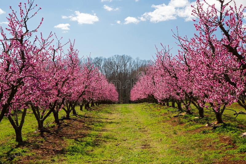Peach Orchard in Bloom stock photos