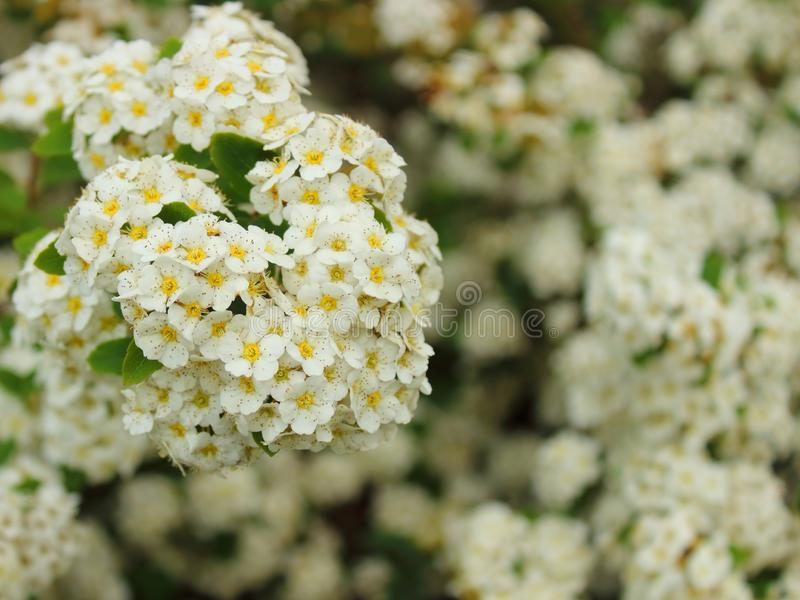 Flowering spirea bushes close-up stock images