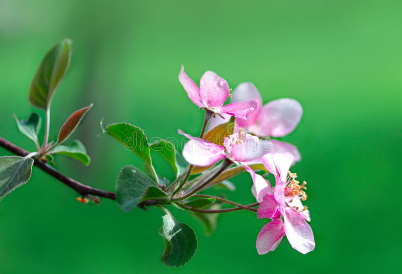 Flowering spring branch of apples. Macro closeup stock photo