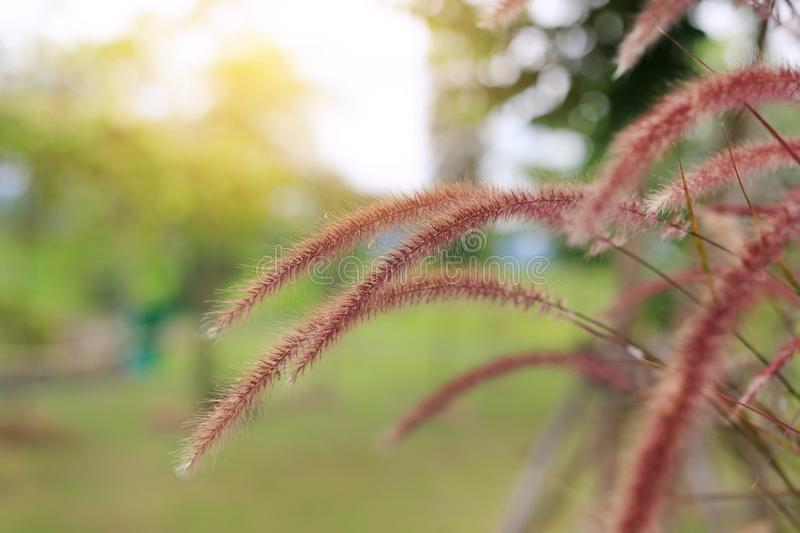 Flowering stems of ornamental fountain grass at sunrise royalty free stock images