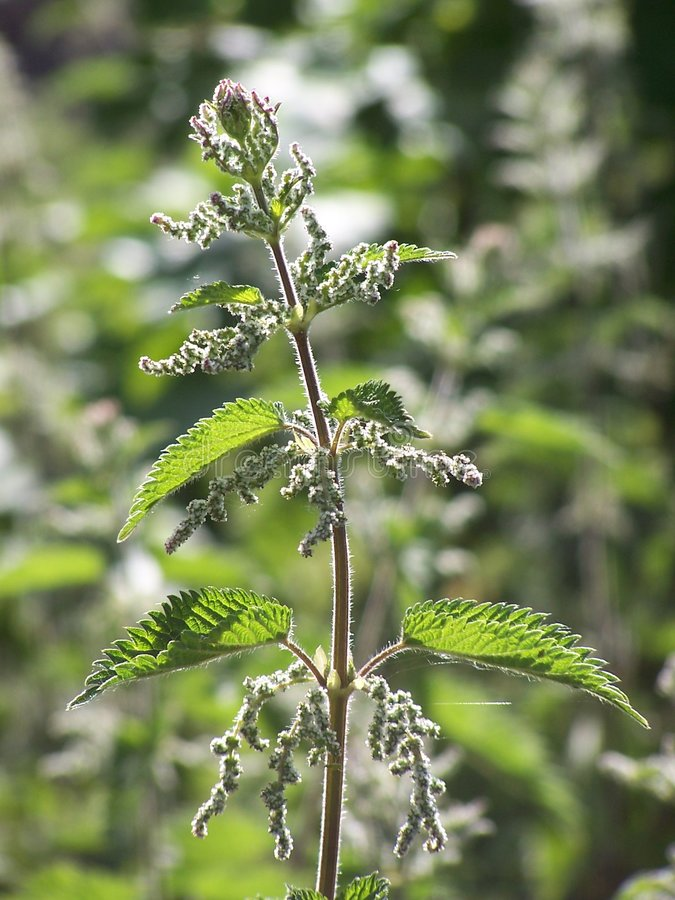 Free Flowering Stinging Nettle Royalty Free Stock Images - 135919
