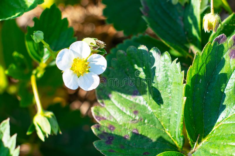 Flowering strawberries. white flowers, strawberry bushes in spring. spring nature and berries royalty free stock images