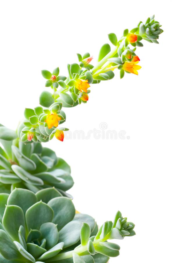 flowering Succulent plant. beauty in nature stock photo