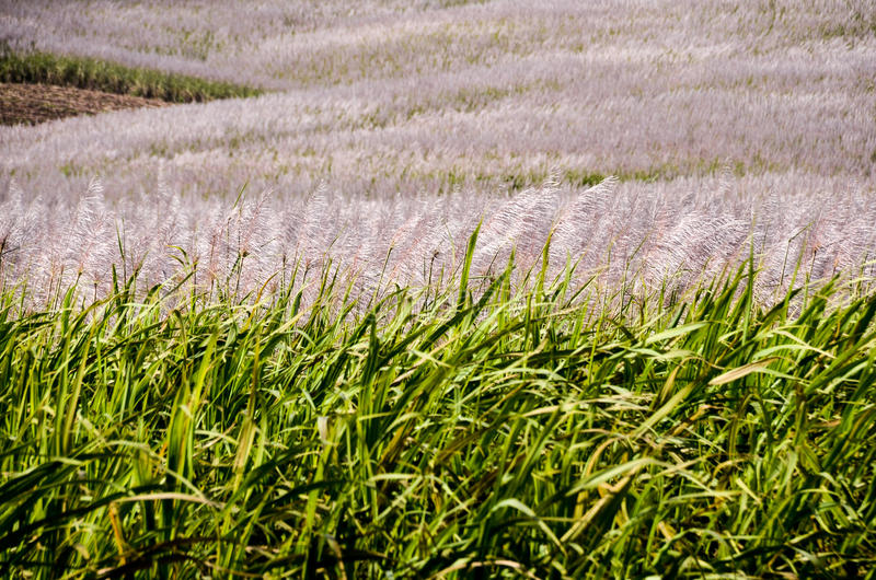 Flowering sugar Cane from Mauritius stock photos