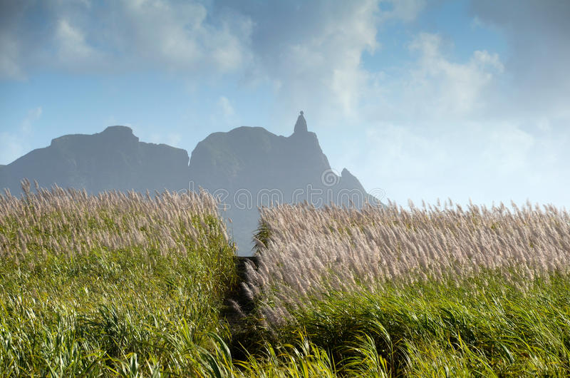 Flowering sugarcane fields royalty free stock images
