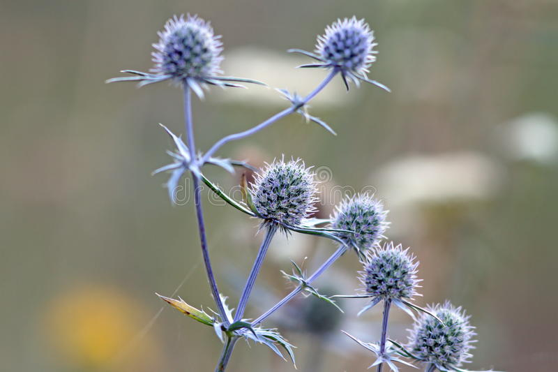 Flowering thistles royalty free stock photography