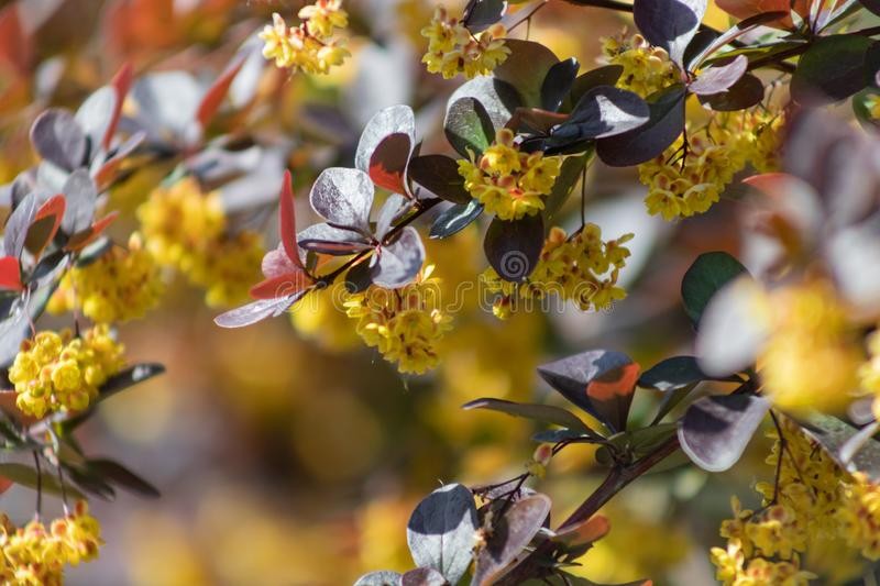 Flowering Thunberg`s barberry or Berberis thunbergii. Cultivar with red leaves and yellow flowers royalty free stock image