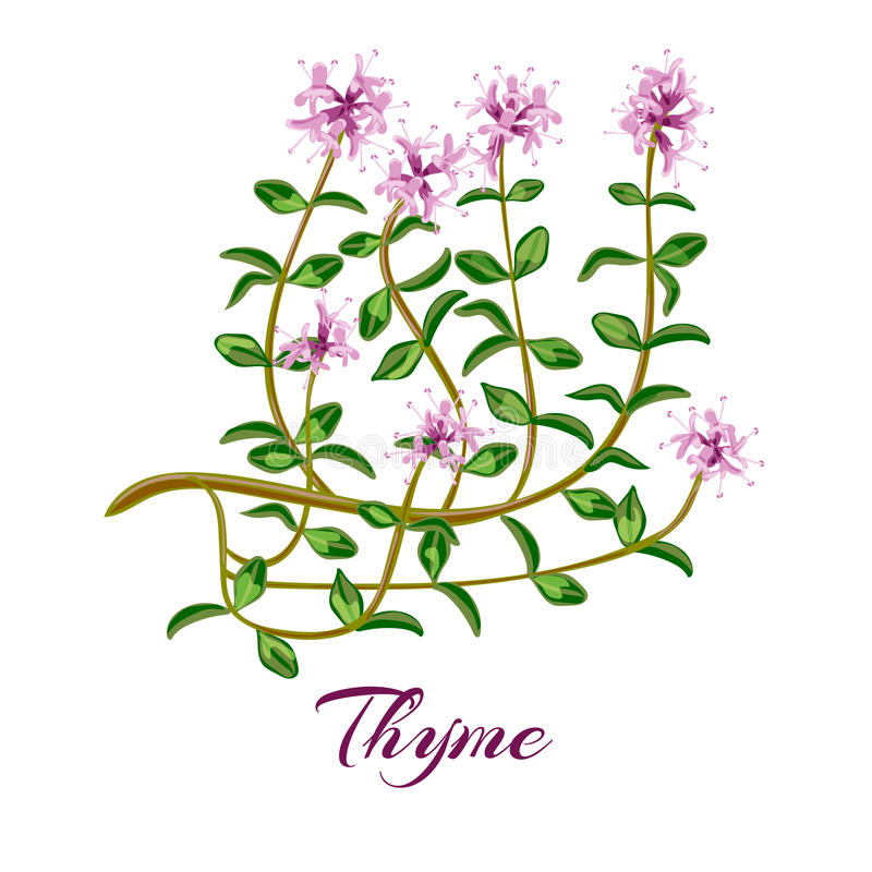 Flowering thyme. Thyme herb. vector illustration