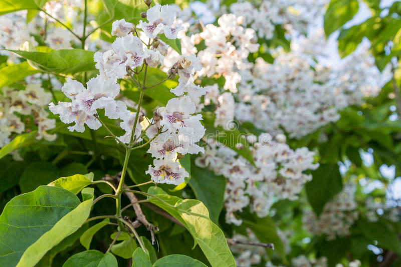Flowering tree catalpa bignonioides white flowers and green leaves download flowering tree catalpa bignonioides white flowers and green leaves on blurred background stock photo mightylinksfo