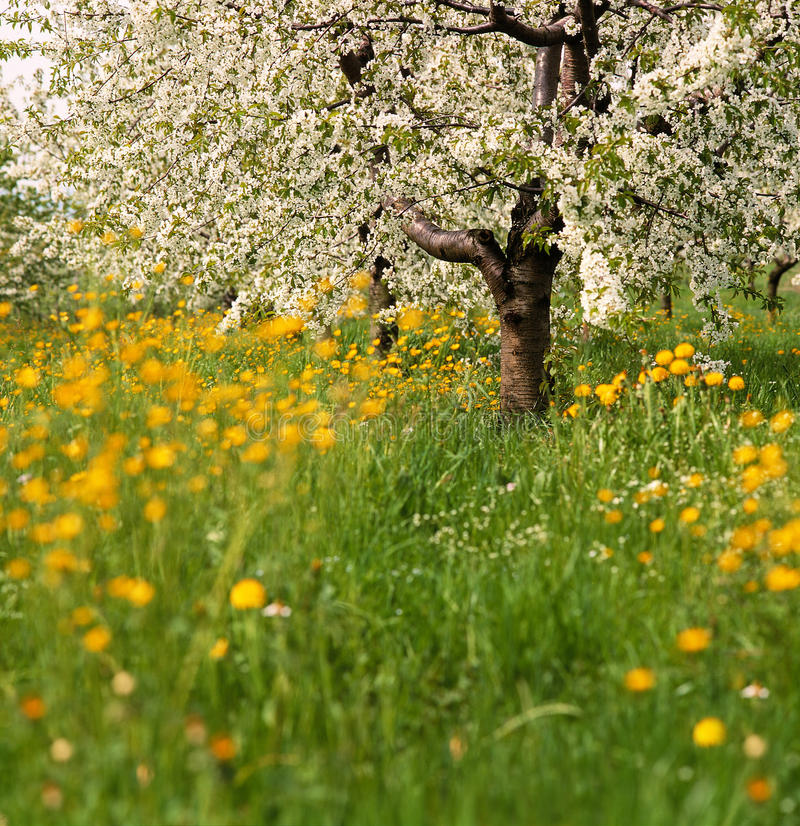 flowering tree in spring royalty free stock photos