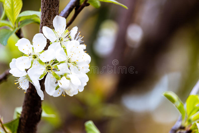 Download The Flowering tree stock photo. Image of light, closeup - 83704046