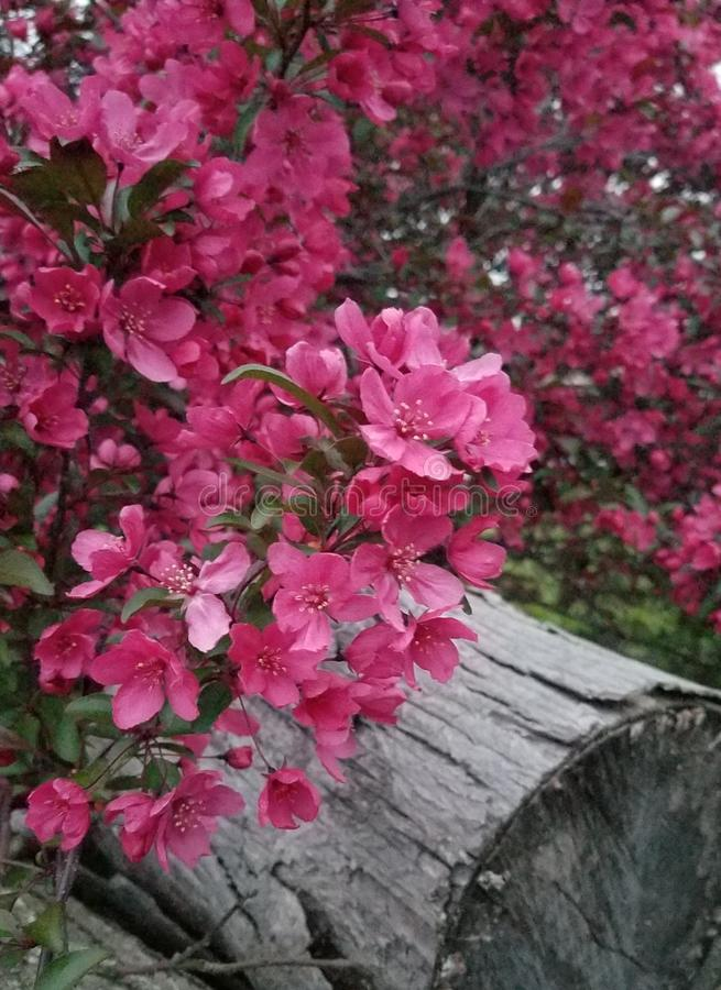 Flowering tree this spring. royalty free stock image
