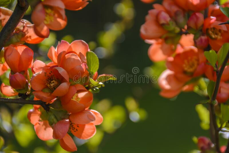 Flowering tree royalty free stock image