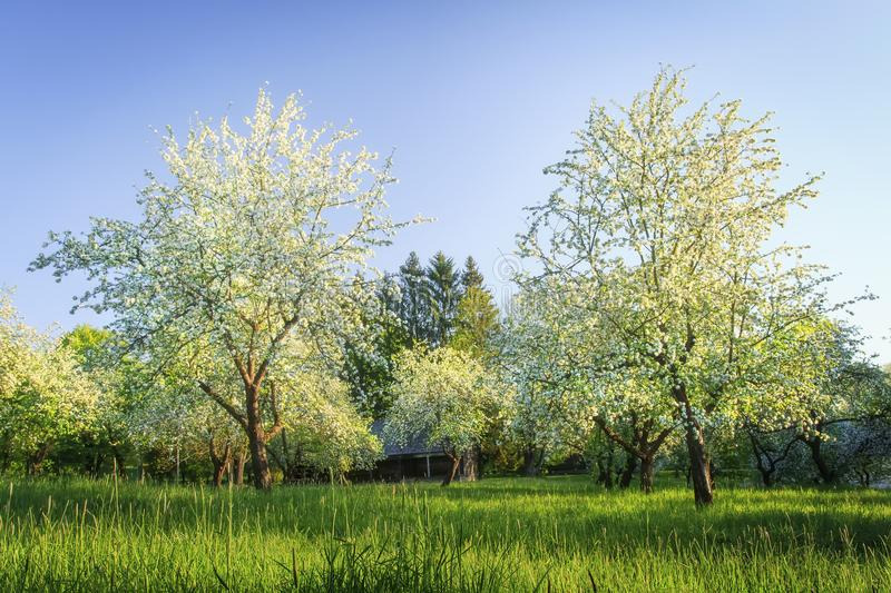 Flowering trees in orchard. White flowers on branches of trees in blossoming apple orchard. Morning landscape of tree in green stock image