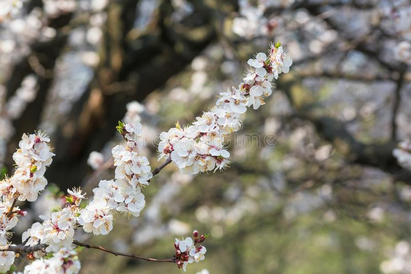 Flowering trees in spring close up against the blue sky stock image