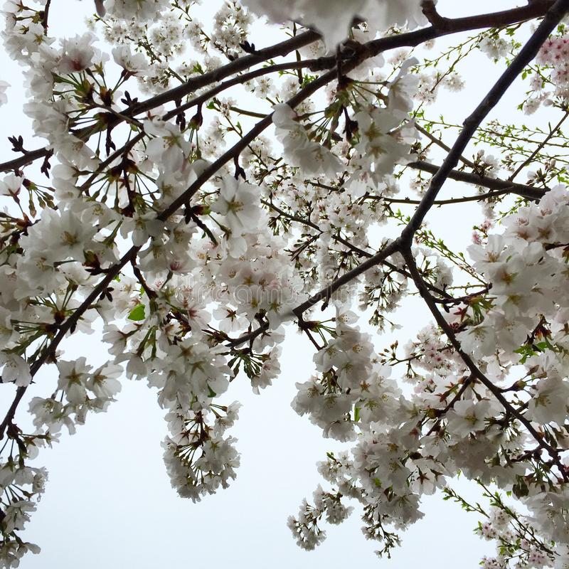 Flowering Trees in Spring royalty free stock images