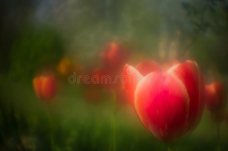 Flowering tulip monocle. royalty free stock images