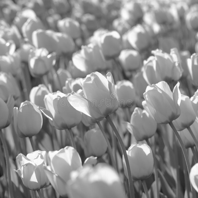 flowering tulips, black and white royalty free stock image