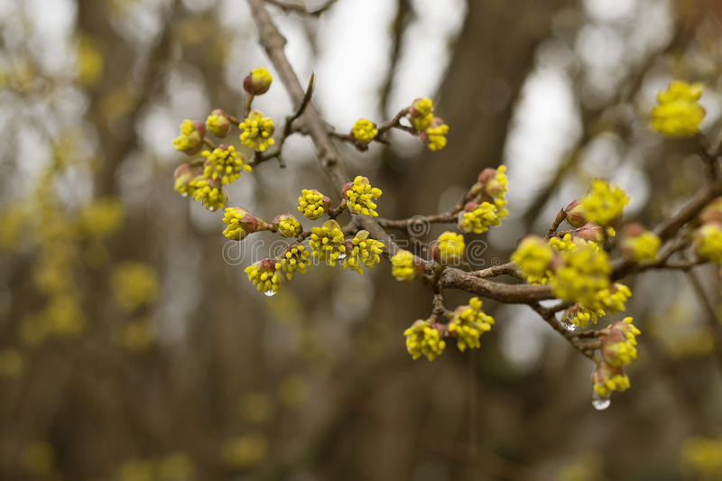 The flowering of the twig of the tree begins with yellow flowers. The branch of a tree blooms with yellow inflorescences in the rain stock photos