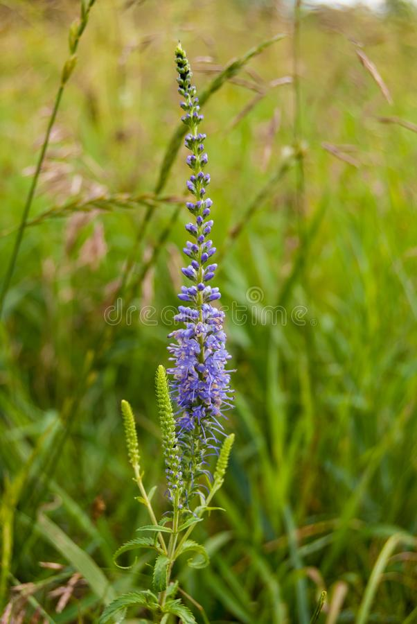 Flowering Veronica longifolia or longleaf speedwell in the meadow.  royalty free stock photography