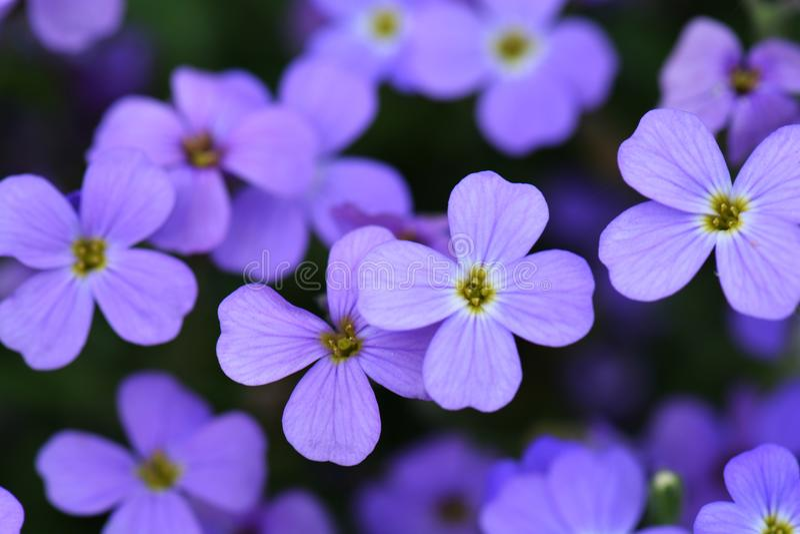 Flowering violet blue flower. Flower blue background. Selective focus.  royalty free stock photo