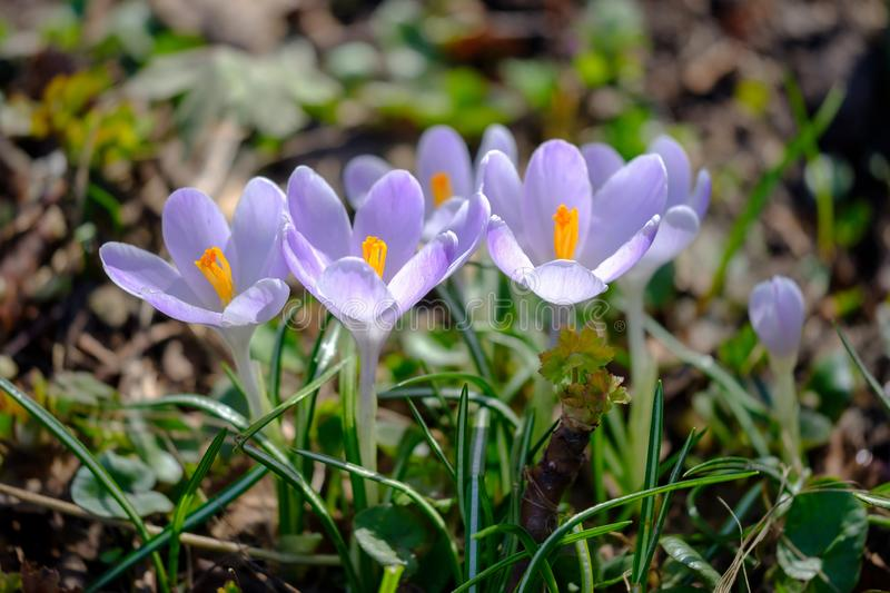 Flowering violet Crocuses under bright sunlight in early Spring forest royalty free stock images