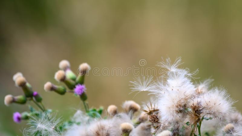 Flowering violet and withered white thistle with flying seed pod. White dried thistles with fluffy weed flowers. royalty free stock photo