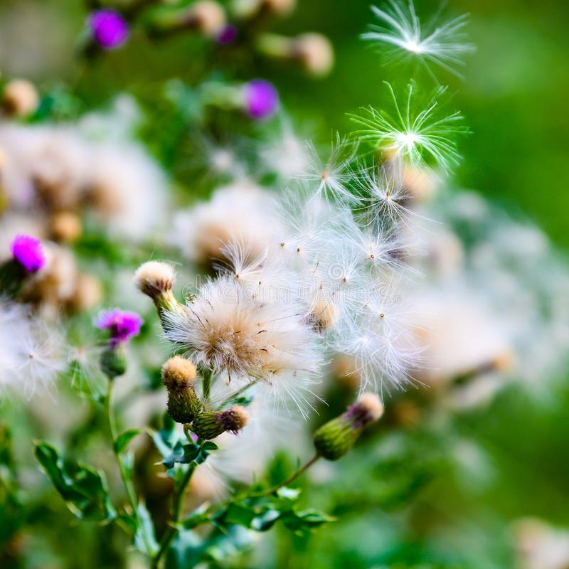 Flowering violet and withered white thistle with flying seed pod. White dried thistles with fluffy weed flowers. stock image