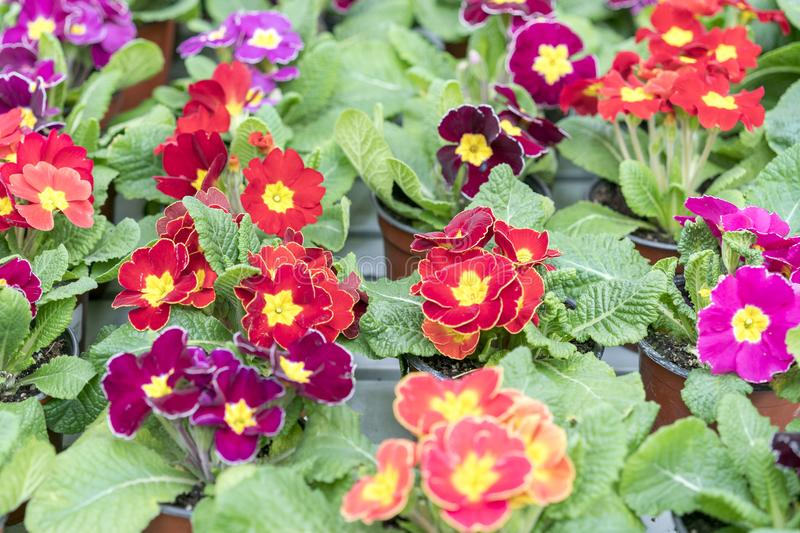 flowering violets. Multicolored flowers on a flower bed stock photo
