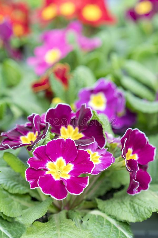 flowering violets. Multicolored flowers on a flower bed royalty free stock photography