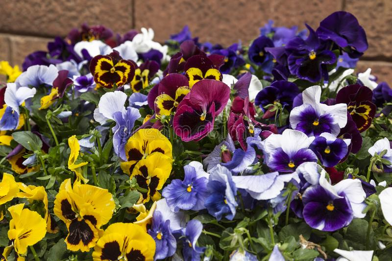 Flowering violets tricolor on the city royalty free stock photo