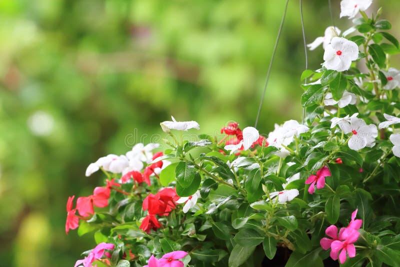 Flowering Watercress. Plantflower watercress close up on green bokeh stock photography