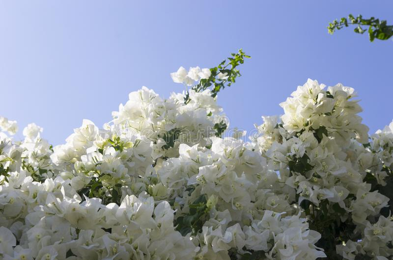 Flowering white bougainvillea stock photography